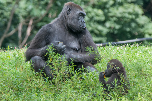 Mother and baby gorilla at lunch by Willis Chung