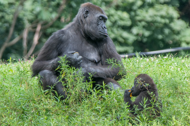 Mother and baby gorilla at lunch