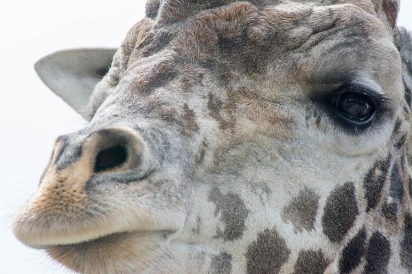Friendly Giraffe by Willis Chung