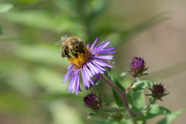 Bee on purple aster by Willis Chung