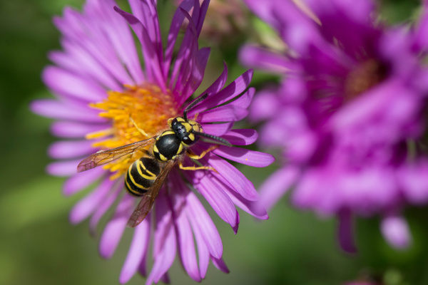 Wasp in Nikon colors leaving aster by Willis Chung