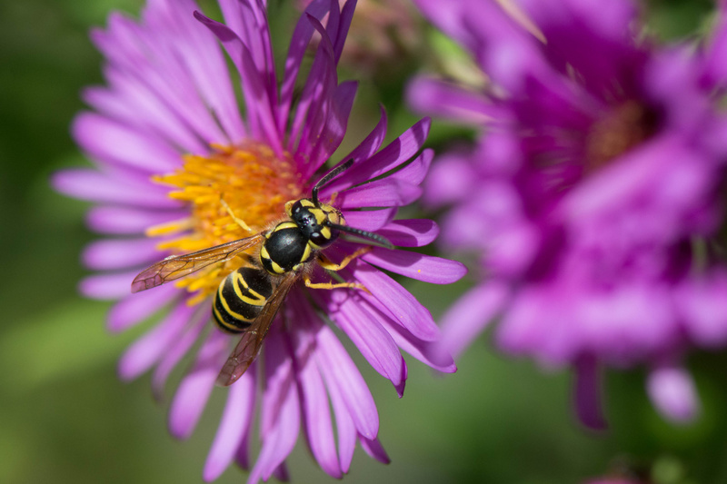 Wasp in Nikon colors leaving aster