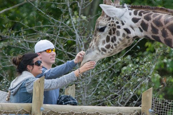 Giraffe petting by Willis Chung