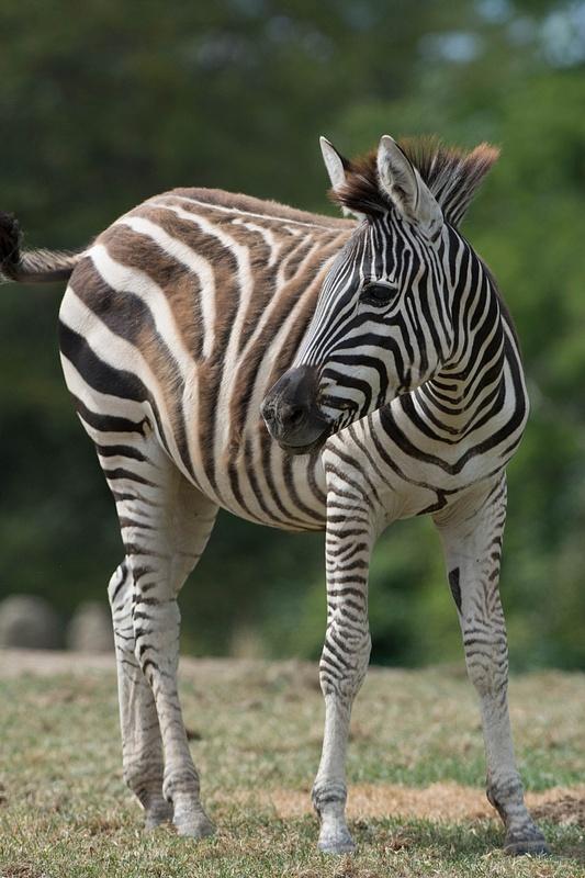 Zebra looking slightly startled