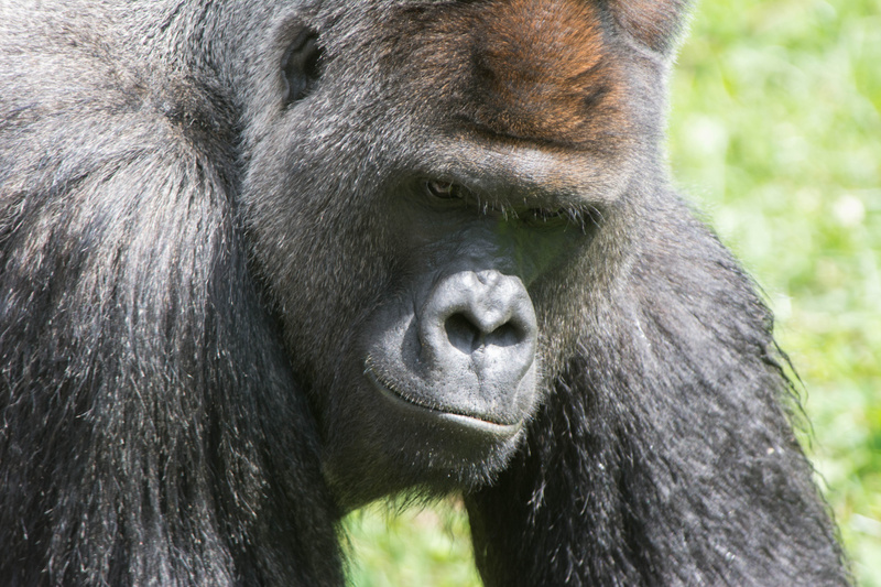 Gorilla on the move