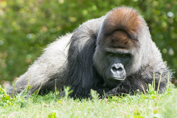 Pensive male gorilla by Willis Chung