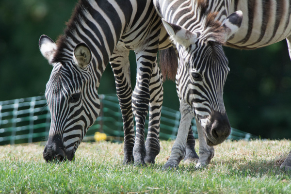 Maybe this is why the zebra stripes are effective... by...
