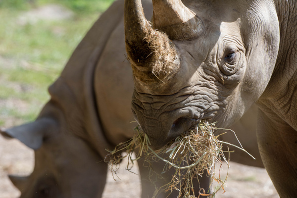 Baby and mother black rhinos by Willis Chung