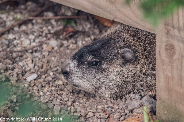 Groundhog that visited our backyard by Willis Chung