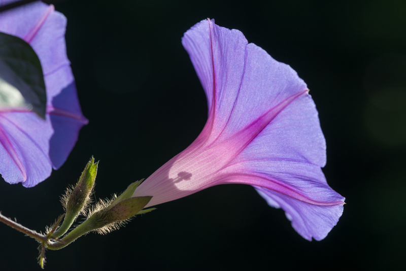 A backlit morning glory blossom