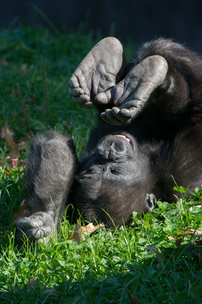 Happy baby gorilla in an inverted position