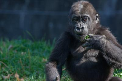 2014Nov Baby Gorilla Playing Pittsburgh Zoo