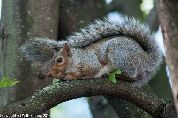 Fluffy tail squirrel by Willis Chung