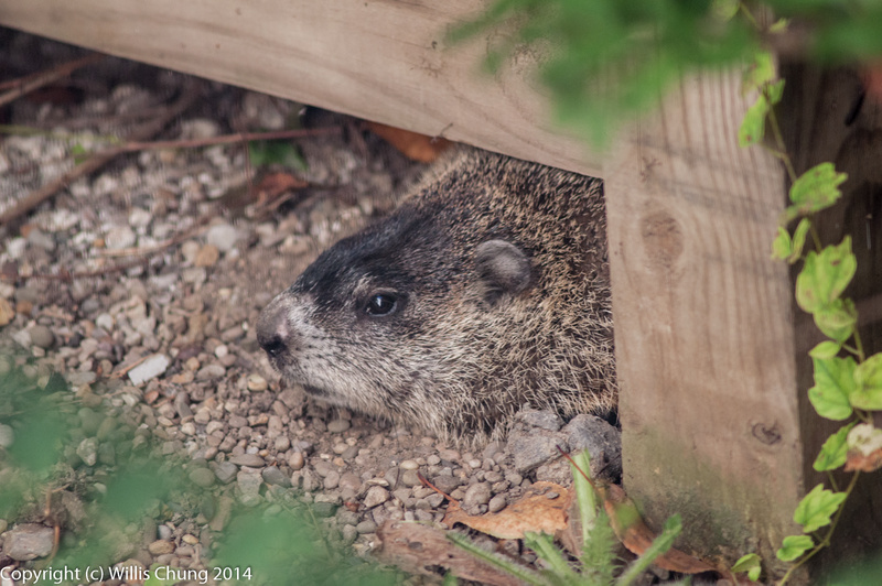 A woodchuck came to visit, probably to feast on fallen cherries