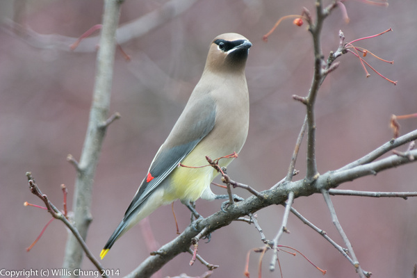 Male cedar waxwing ready to eat by Willis Chung