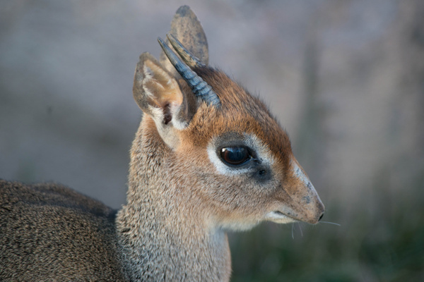 Adult dik dik, a tiny deer-like animal