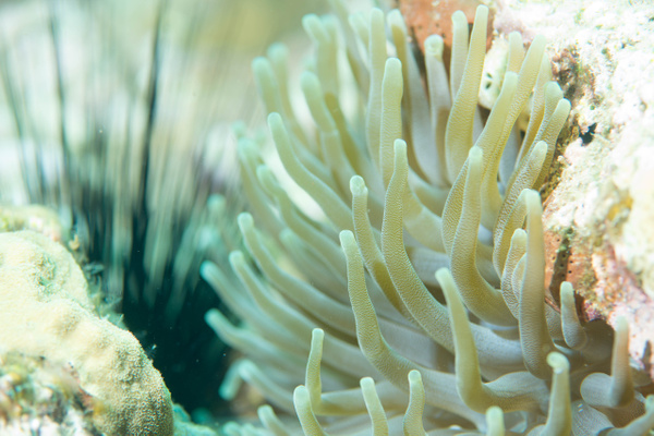 Anemones and urchins by Willis Chung