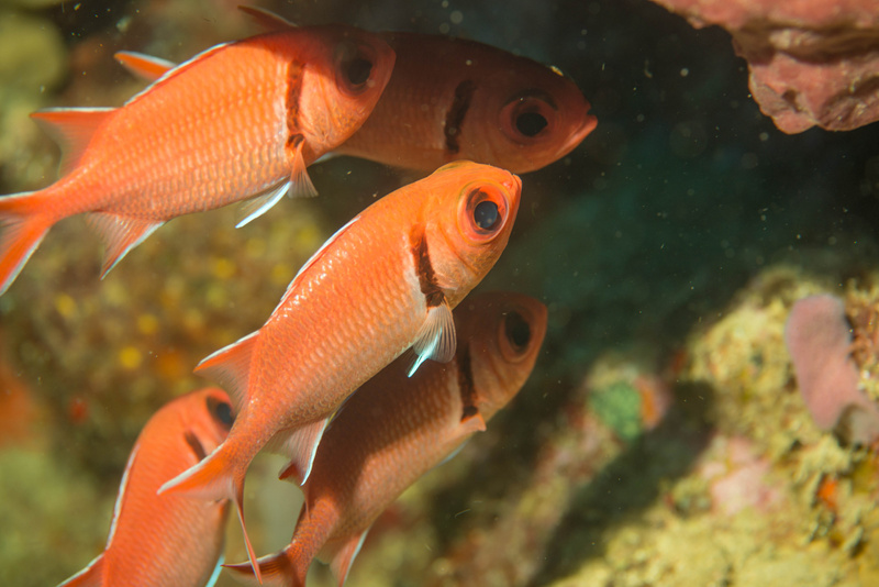 Fearless black bar soldierfish,  not at all shy