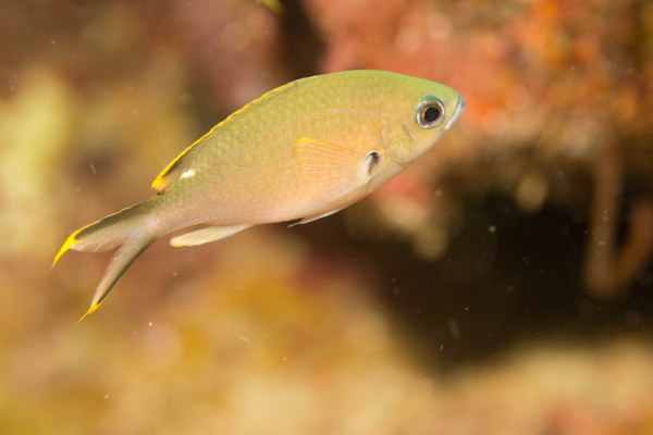 Brown chromis adult by Willis Chung