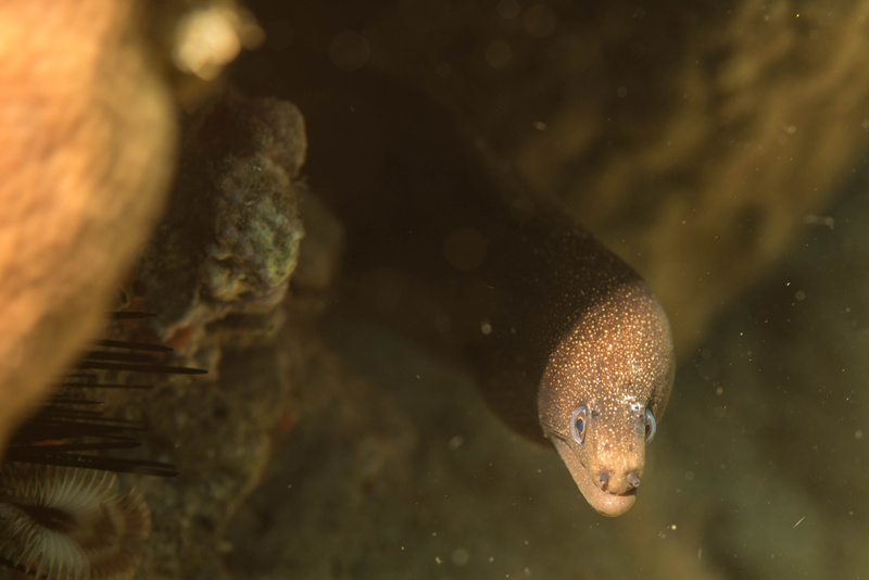 Small spotted moray eel