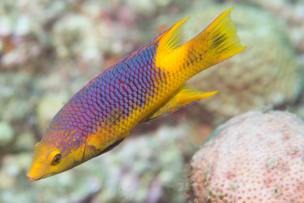 Small spanish hogfish by Willis Chung