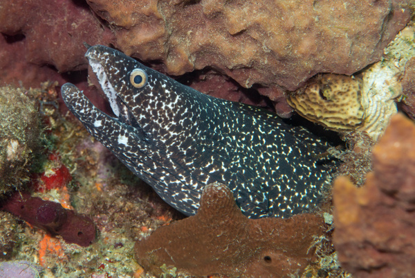 Smiling spotted moray eel by Willis Chung