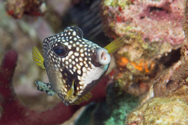 Smooth trunkfish lips by Willis Chung
