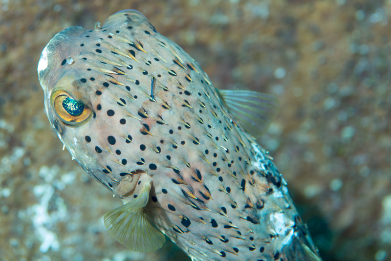 Balloonfish getting cleaned by a neon goby