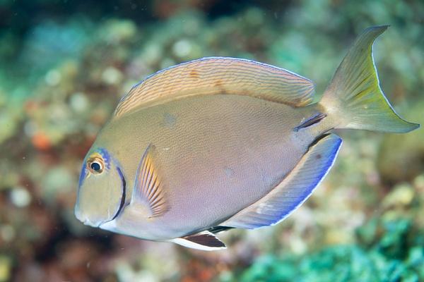 Ocean surgeonfish by Willis Chung