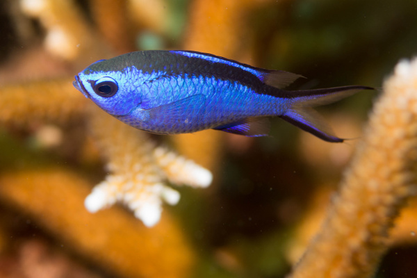Adult blue chromis by Willis Chung