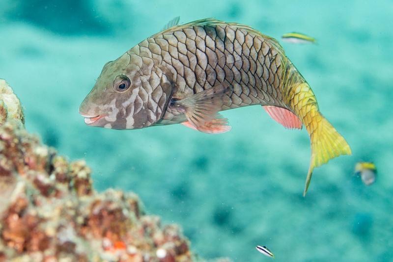 Young yellowtail parrotfish
