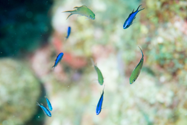 Collection of juvenile blue and brown chromis by Willis...