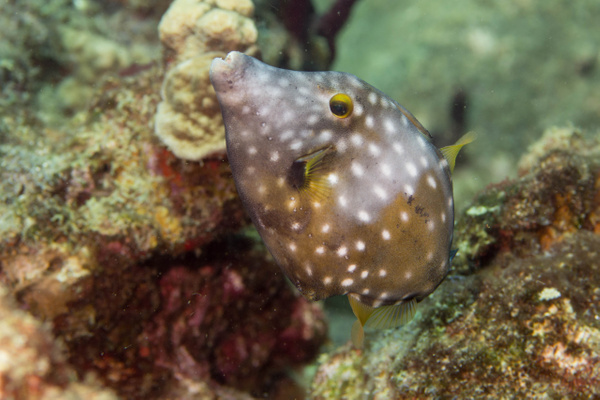 White spotted filefish by Willis Chung