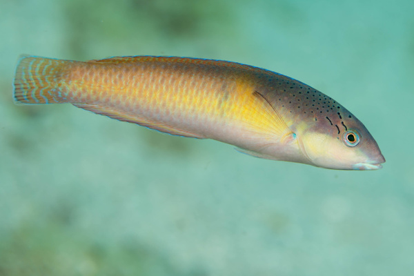 Yellowhead wrasse, initial phase by Willis Chung