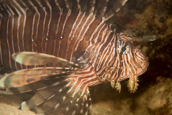 Quite a large lionfish by Willis Chung