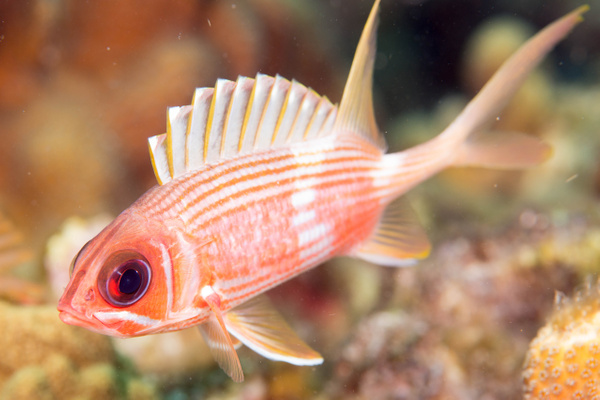 Longspine squirrelfish by Willis Chung