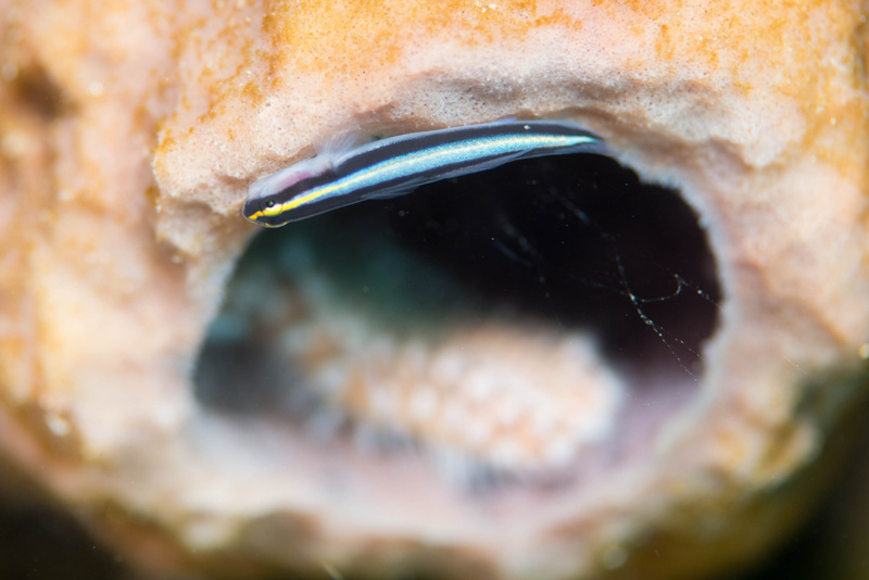 A sharknose goby shows up to look for business