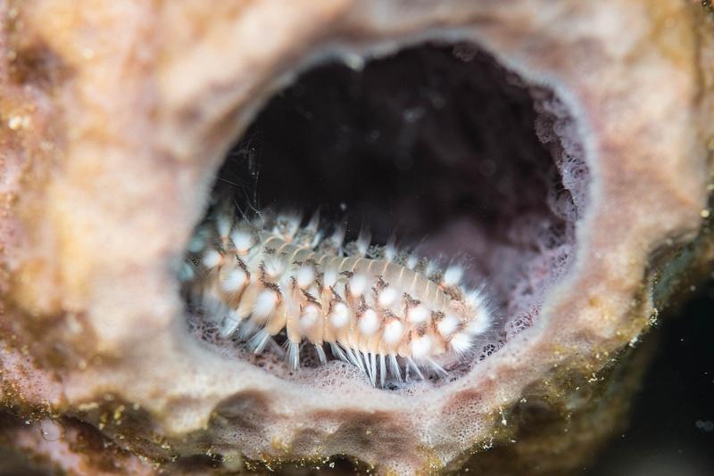 Fireworm in sponge
