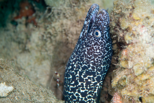 Spotted moray eel and banded coral shrimp by Willis Chung