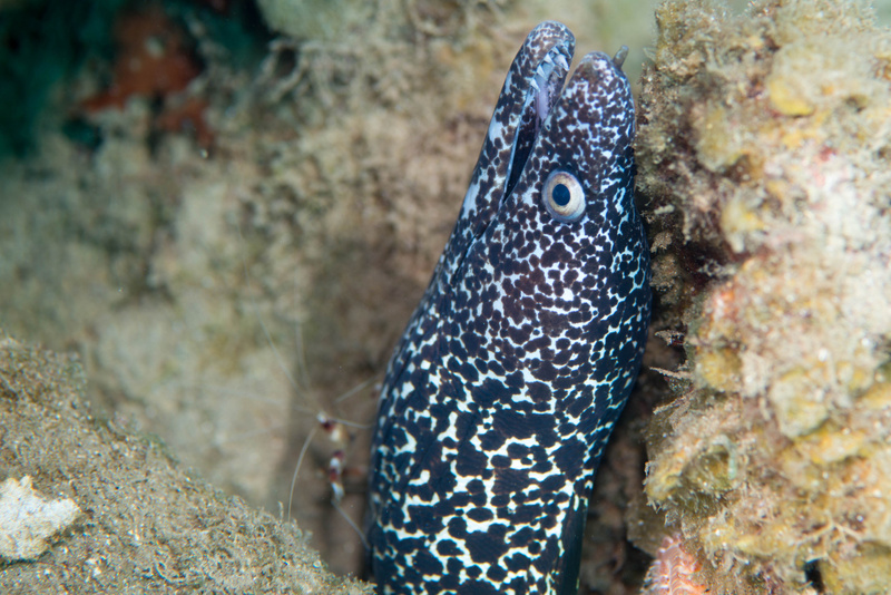 Spotted moray eel and banded coral shrimp