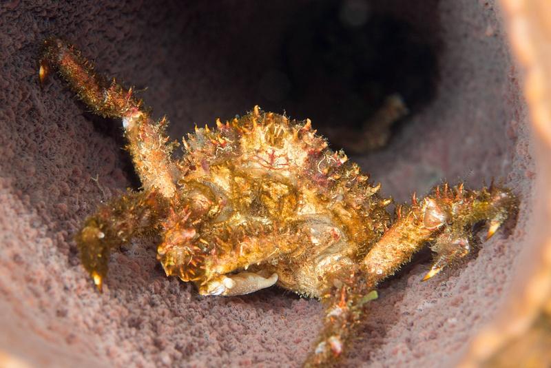 Crab in barrel sponge