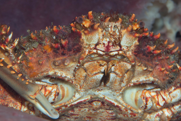 Crab face by Willis Chung