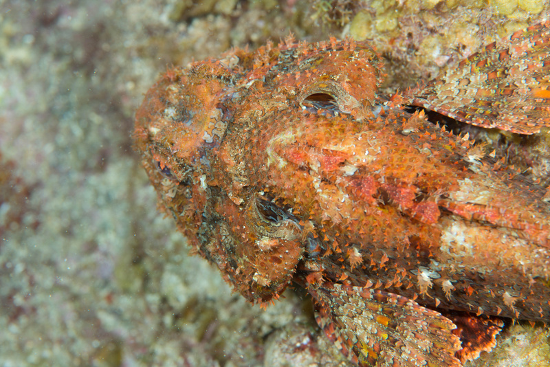 This scorpionfish swam up as we were taking photos of the seahorses