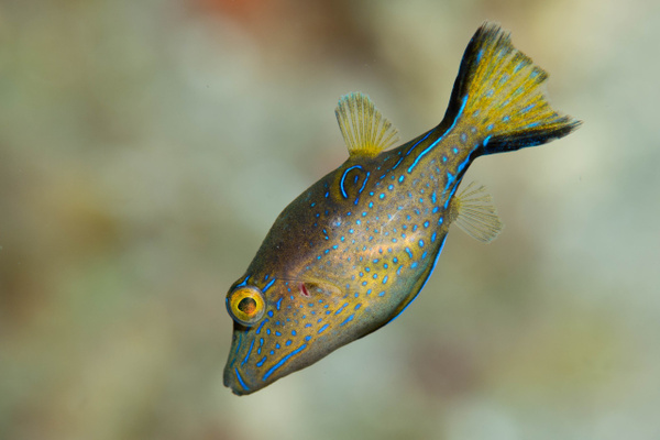 Sharpnose puffer profile by Willis Chung