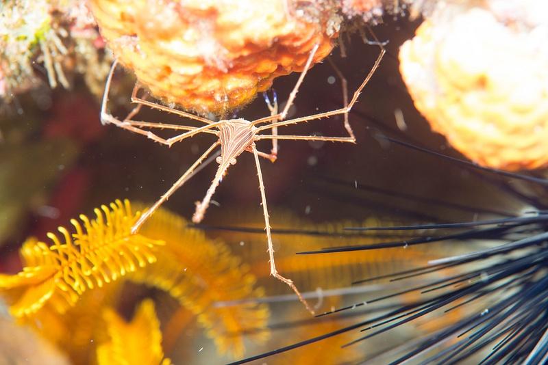 Arrow crab under chin view