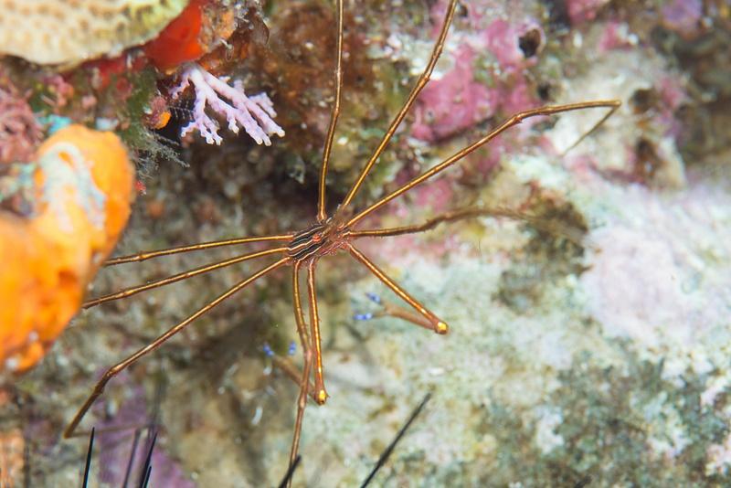 Arrow crab 1/4 profile
