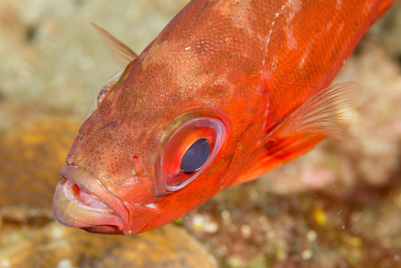 Notice the refractions in the eye of this glasseye snapper
