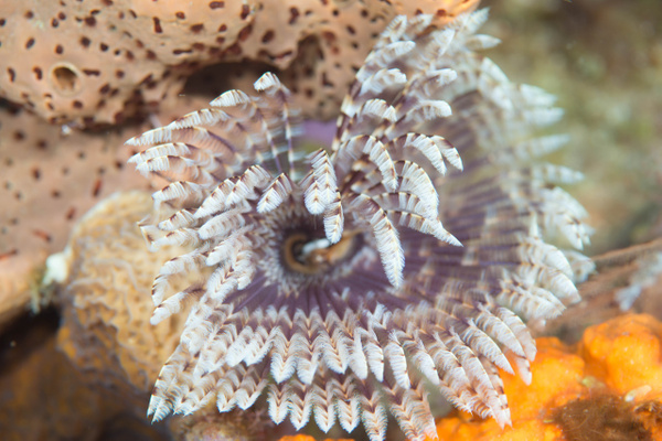 Featherduster worm by Willis Chung