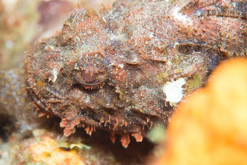 Scorpionfish eye
