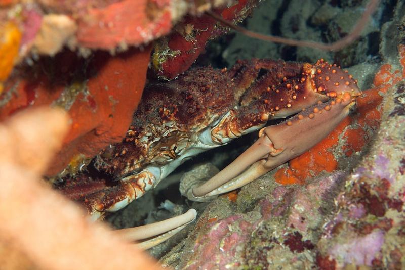 Crab hiding in a crevasse